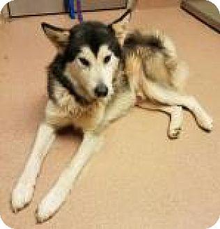Husky Mix Dog for adoption in Columbus, Georgia - Nanook 6110