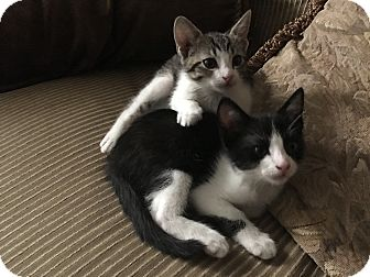 Domestic Shorthair Kitten for adoption in Sarasota, Florida - Tigger