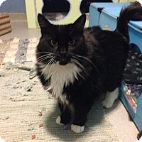 Adopt A Pet :: Amber - Oyster Bay, NY