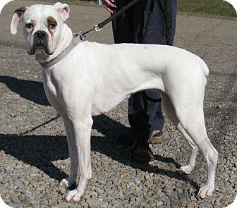 Boxer Dog for adoption in New Kensington, Pennsylvania - Minnie