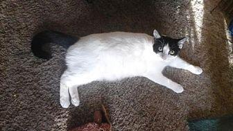 Domestic Shorthair Cat for adoption in Redding, California - Oreo *Courtesy Post*