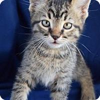 Adopt A Pet :: Tiramisu - Midland, TX