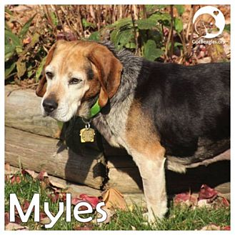 Beagle Mix Dog for adoption in Chicago, Illinois - Myles