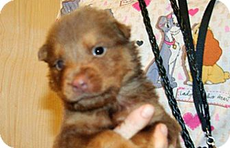 Shepherd (Unknown Type) Mix Puppy for adoption in Wildomar, California - 351965 LF