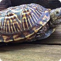 Adopt A Pet :: Ornate Box Turtles - Spring Branch, TX