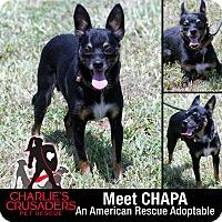 Adopt A Pet :: Chapa - Pottstown, PA