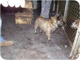 Cairn Terrier Mix Dog for adoption in Millerton, Pennsylvania - Cairn 1