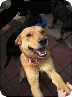 Labrador Retriever Mix Dog for adoption in Arlington, Virginia - Butterscotch