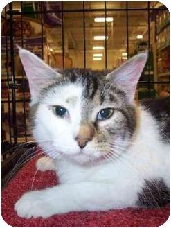 American Shorthair Cat for adoption in Waynesburg, Pennsylvania - Lulu