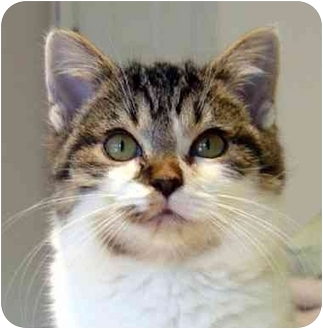 Domestic Shorthair Kitten for adoption in Overland Park, Kansas - Marlee