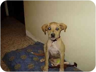 Labrador Retriever/Chihuahua Mix Puppy for adoption in Amelia  Island/Clearwater/Jacksonville, Florida - Nina