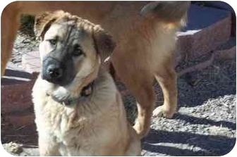 German Shepherd Dog/Airedale Terrier Mix Puppy for adoption in Arenas Valley, New Mexico - Joey