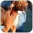 Photo 3 - Foxhound/Redbone Coonhound Mix Dog for adoption in Toledo, Ohio - CASEY