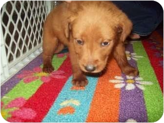 Chow Chow/Retriever (Unknown Type) Mix Puppy for adoption in East Hampton, New York - Minnie