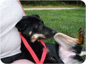 Australian Kelpie/Terrier (Unknown Type, Small) Mix Dog for adoption in Lebanon, Maine - Tiny Tica