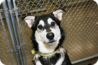 Husky Mix Dog for adoption in Kalamazoo, Michigan - Ken