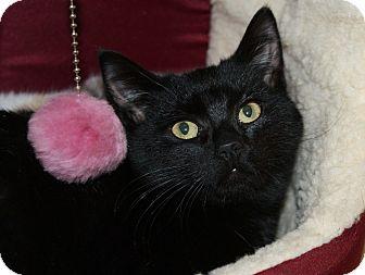 Domestic Shorthair Kitten for adoption in Berlin, Connecticut - Chestnut