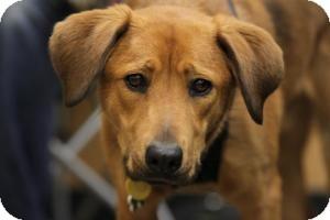 German Shepherd Dog/Labrador Retriever Mix Dog for adoption in Alpharetta, Georgia - Kansas
