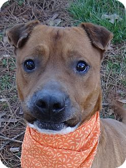 Boxer/Shar Pei Mix Dog for adoption in Peachtree City, Georgia - Copper