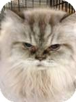 Himalayan Cat for adoption in Pittstown, New Jersey - Coco