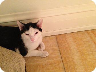 Domestic Shorthair Kitten for adoption in Chicago, Illinois - Vinny