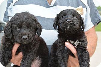 Golden Retriever/Labrador Retriever Mix Puppy for adoption in Covington, Louisiana - Clay
