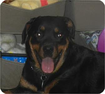 Rottweiler Dog for adoption in Antioch, Illinois - Tasha