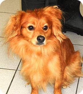 Dachshund/Silky Terrier Mix Dog for adoption in Rockaway, New Jersey - Mango