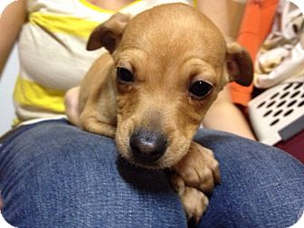 Dachshund/Jack Russell Terrier Mix Puppy for adoption in Marlton, New Jersey - Anderson