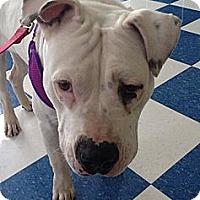 Adopt A Pet :: Suki - Plano, TX