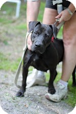 Labrador Retriever Mix Dog for adoption in Tinton Falls, New Jersey - Cleo