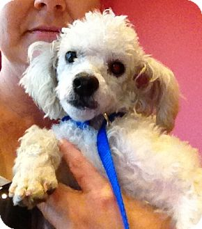 Poodle (Miniature) Puppy for adoption in Fairview Heights, Illinois - Coconut