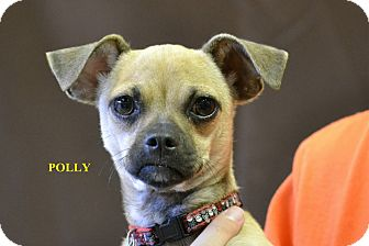 Pug/Chihuahua Mix Puppy for adoption in Higley, Arizona - POLLY