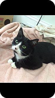 Domestic Shorthair Cat for adoption in Parkton, North Carolina - Katniss
