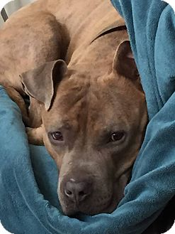 American Pit Bull Terrier Mix Dog for adoption in Loveland, Colorado - Duncan
