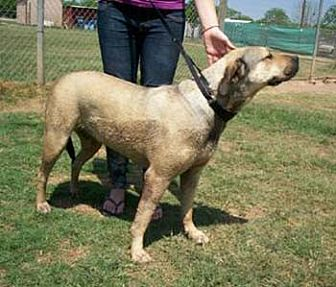 Bullmastiff/Labrador Retriever Mix Dog for adoption in Seguin, Texas - Lollie