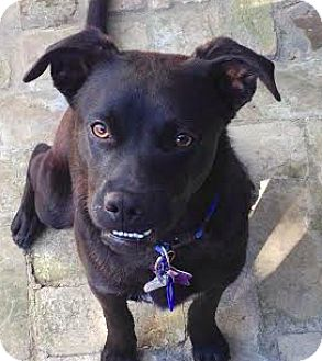 Labrador Retriever Mix Dog for adoption in San Francisco, California - Tucker