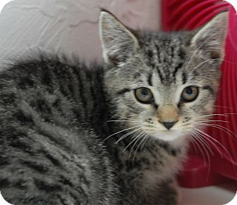 Domestic Shorthair Kitten for adoption in Winchendon, Massachusetts - Jan