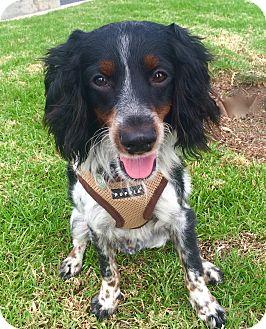 Cavalier King Charles Spaniel/Springer Spaniel Mix Dog for adoption in Irvine, California - Cowboy