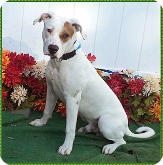 American Bulldog Mix Dog for adoption in Marietta, Georgia - SNOOPY