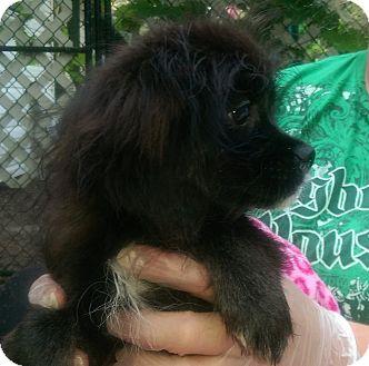 Cavalier King Charles Spaniel/Havanese Mix Puppy for adoption in Antioch, Illinois - Henrietta