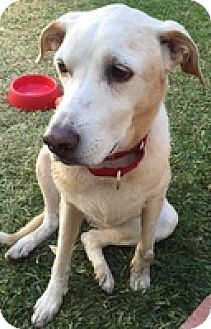 Labrador Retriever Mix Dog for adoption in Torrance, California - Bella