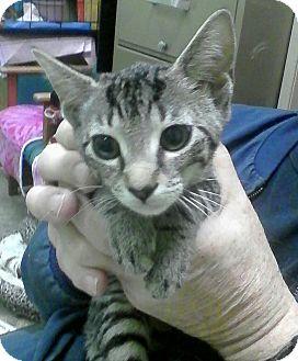 Domestic Shorthair Kitten for adoption in Trevose, Pennsylvania - Lila