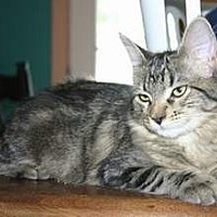 Maine Coon Cat for adoption in SeaTac, Washington - NV - Kayla (MCR)