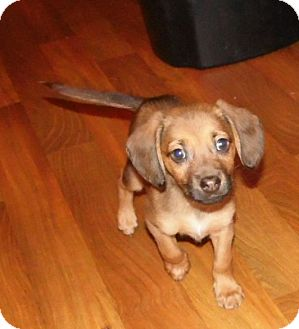 Terrier (Unknown Type, Small) Mix Puppy for adoption in Mooresville, Indiana - Derk
