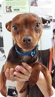 Miniature Pinscher/Chihuahua Mix Dog for adoption in Westminster, California - Oscar