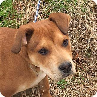 Shar Pei Mix Puppy for adoption in Minnetonka, Minnesota - Reese - loves everyone