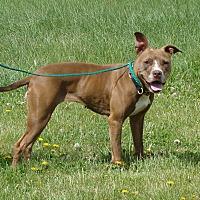 Pit Bull Terrier Mix Dog for adoption in Cameron, Missouri - Roberta ( Aka Berta Bean)
