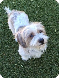 Lhasa Apso/Poodle (Miniature) Mix Dog for adoption in Las Vegas, Nevada - Bam bam