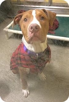 Pit Bull Terrier Mix Puppy for adoption in Bellingham, Washington - Dragon